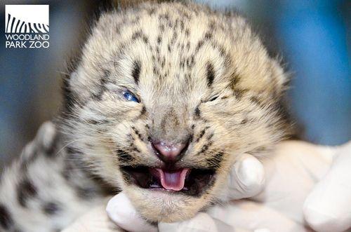 Snow Leopard Cub Woodland Park Zoo 1