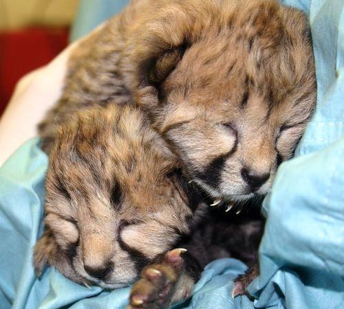 Simthsonian-Zoo-Cheetah-Cubs7