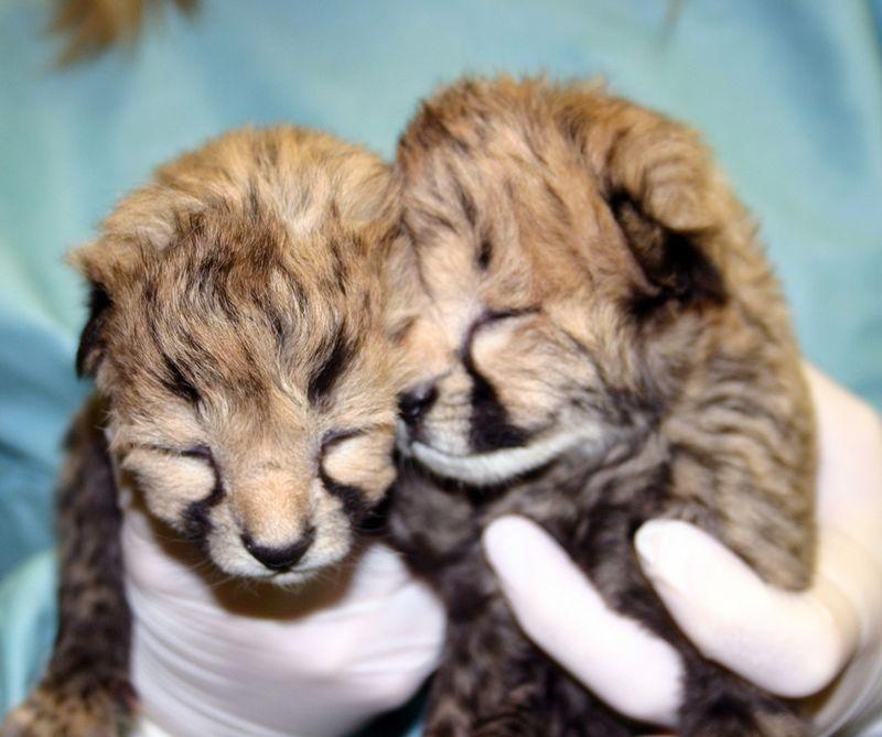 Simthsonian-Zoo-Cheetah-Cubs9