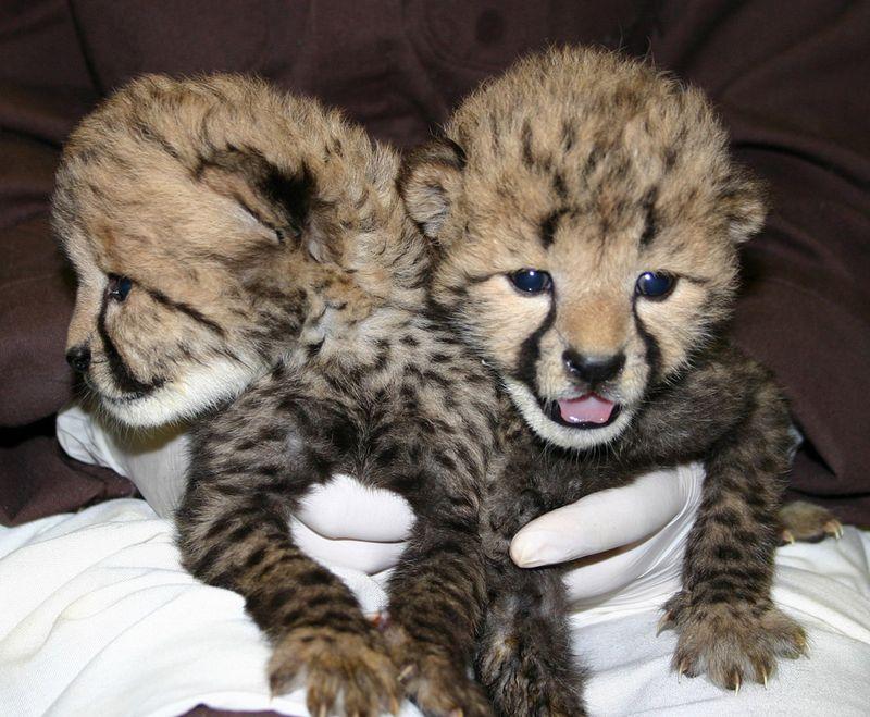 Simthsonian-Zoo-Cheetah-Cubs5