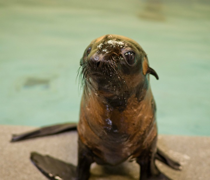 Fur Seal Pup Front and Center