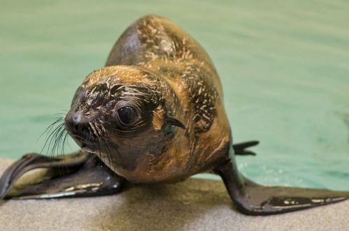 Fur Seal Pup Up Close 2