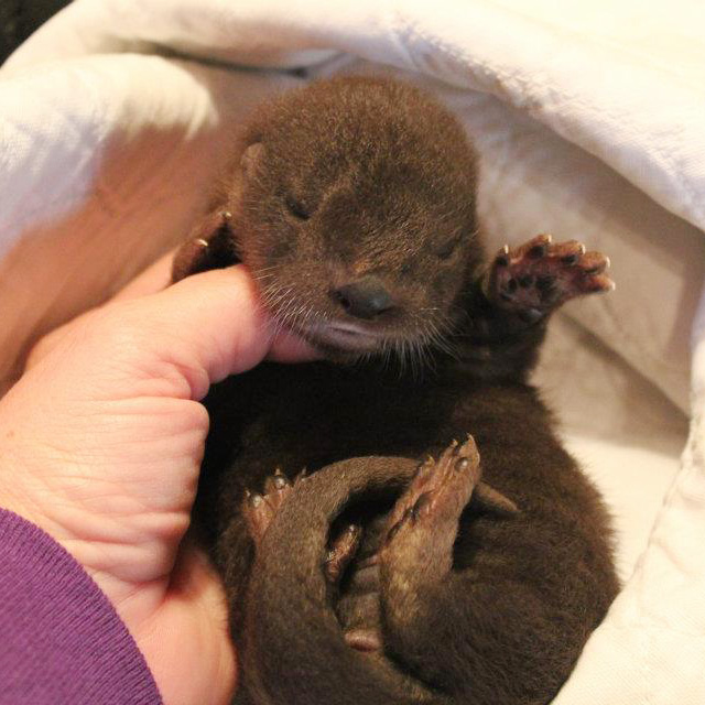 Otter-Pup-Virginia8