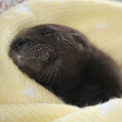 Otter-Pup-Virginia9