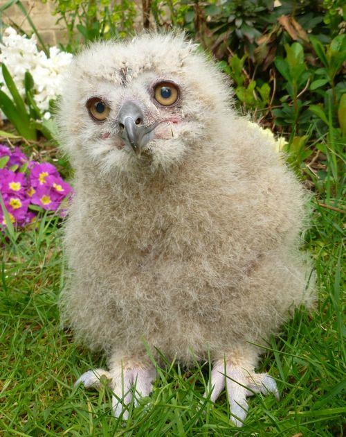 Turkmenian Eagle owlet (5)
