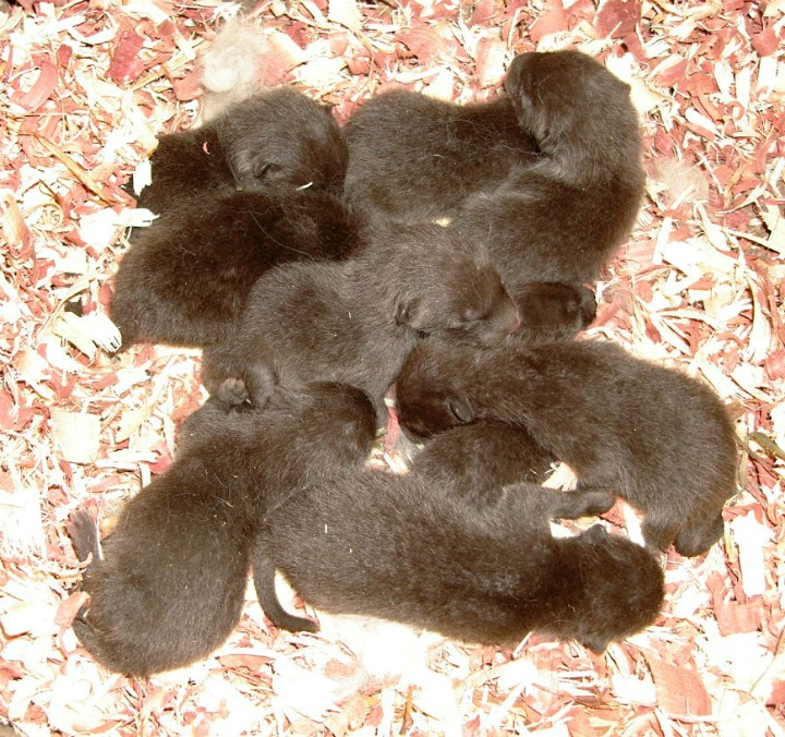 Arctic Fox Kit Litter at Como Zoo 4