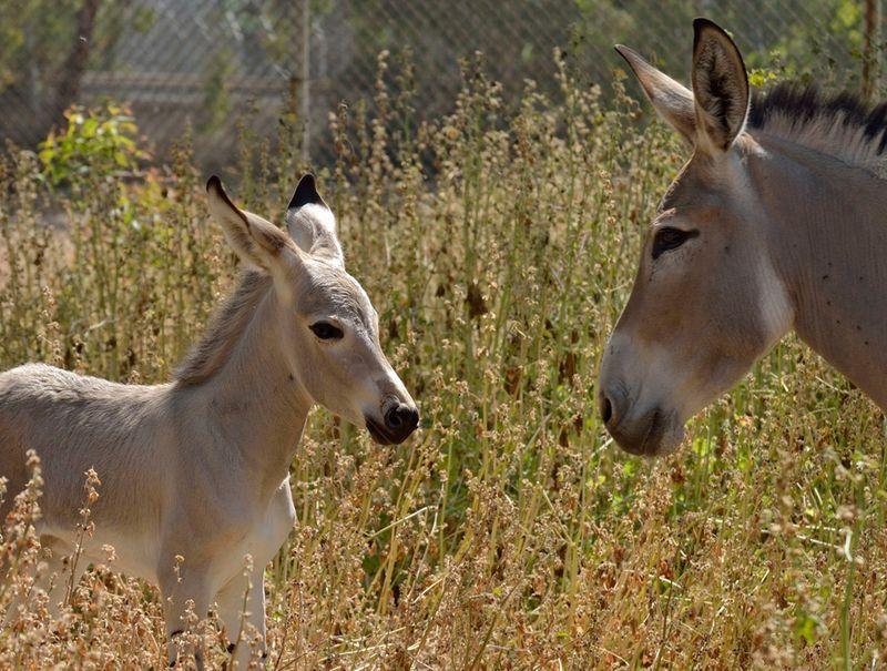 Ramat-Gan-Wild-Ass-Foal3