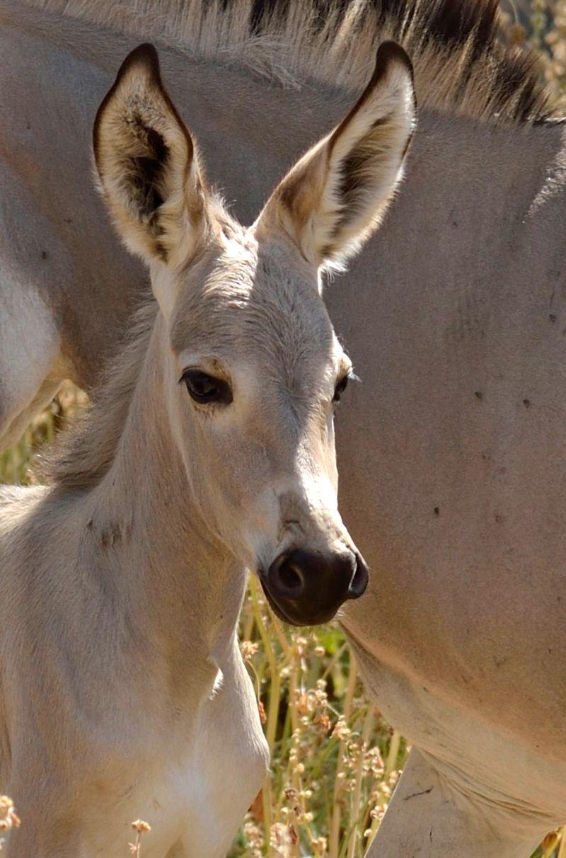 Ramat-Gan-Wild-Ass-Foal2