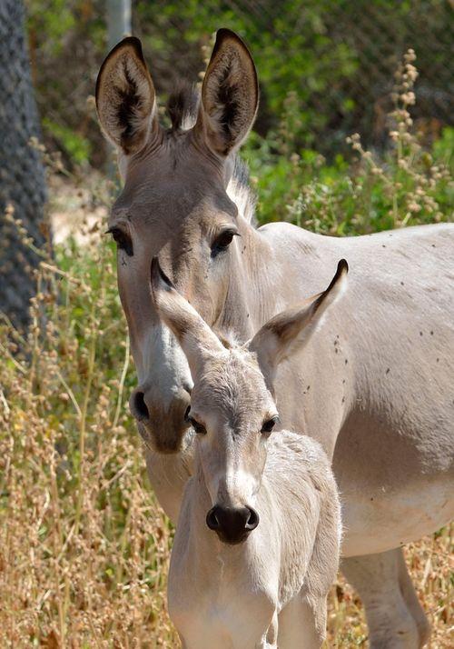 Ramat-Gan-Wild-Ass-Foal7