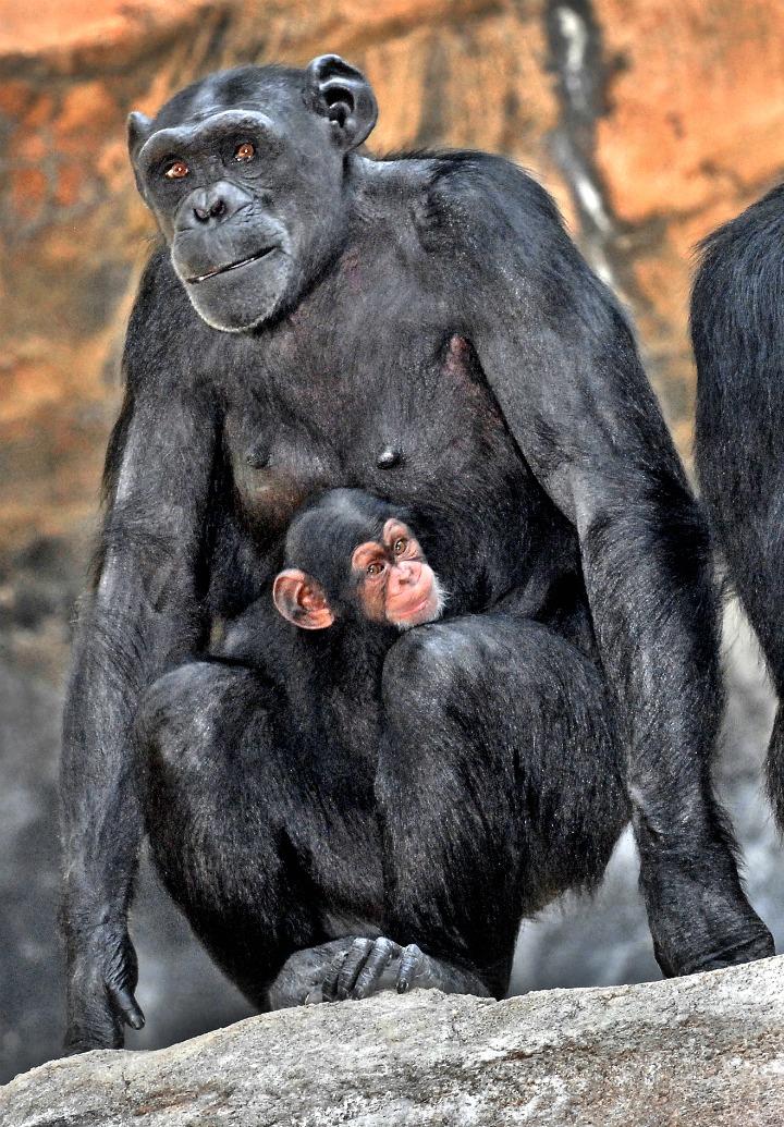 Mom& chimp