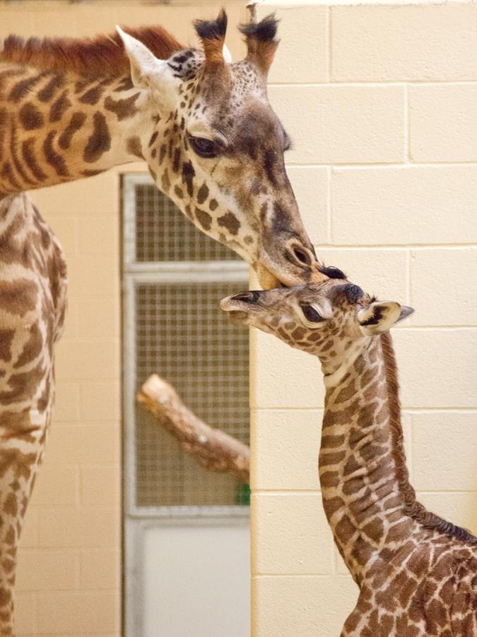 Nashville Zoo_Masai #3DB38B