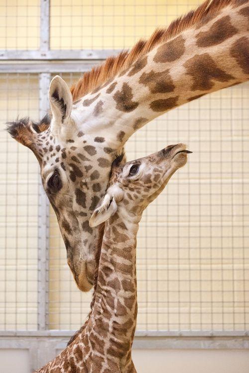 Nashville Zoo_Masai #3DB28B