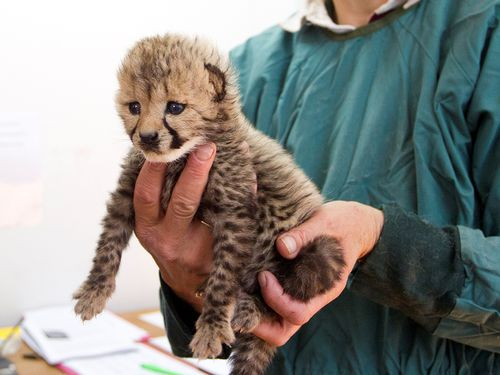 Cheetah Cub - full body