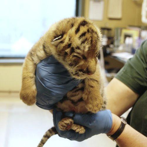 Amur Tiger Cub Minnesota Zoo 1b