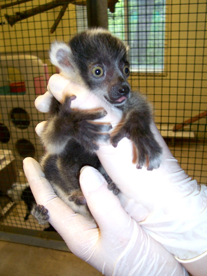Baby Ruffed Lemur Binder Park Zoo 1