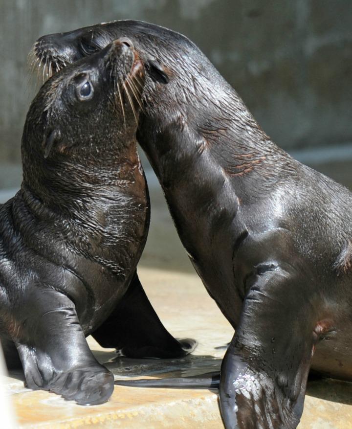 Sea Lion pup Hellabrun Zoo 3