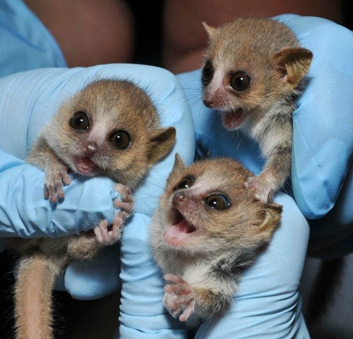 Baby Mouse Lemurs Duke Lemur Center 1