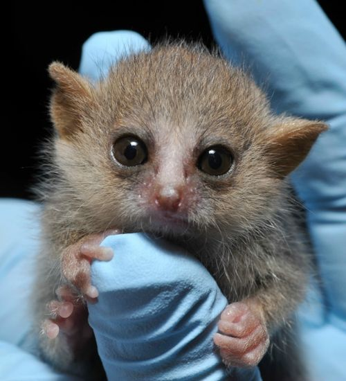 Baby Mouse Lemur Duke Lemur Center 2