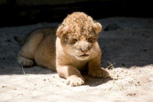Jacksonville-Zoo-Lion-Cub4