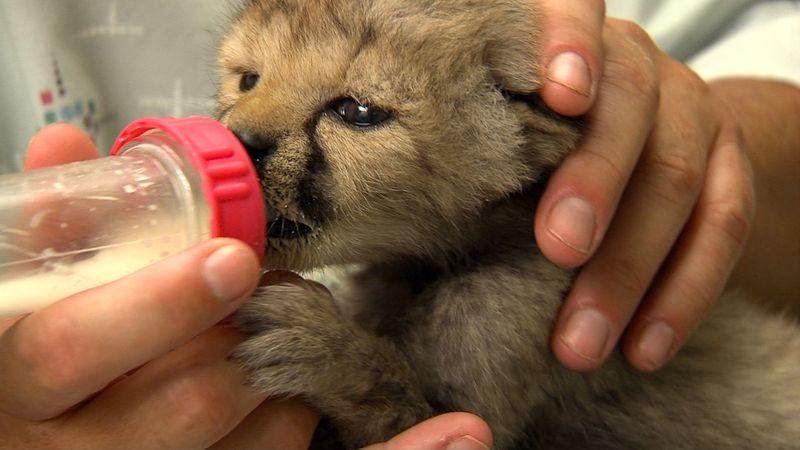 Cheetah Cub6