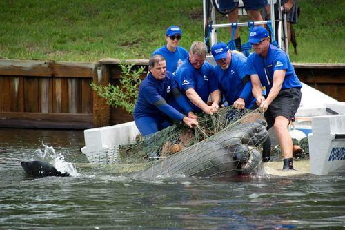 20120608_Merritt-Island-Manatee-Rescue_19