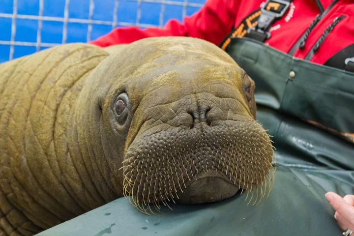 20120722_Walrus arrival-0293