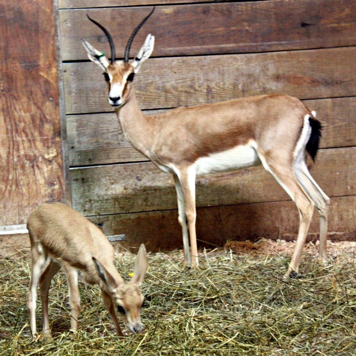 CMZ slender horned gazelle hi res 2trimmed