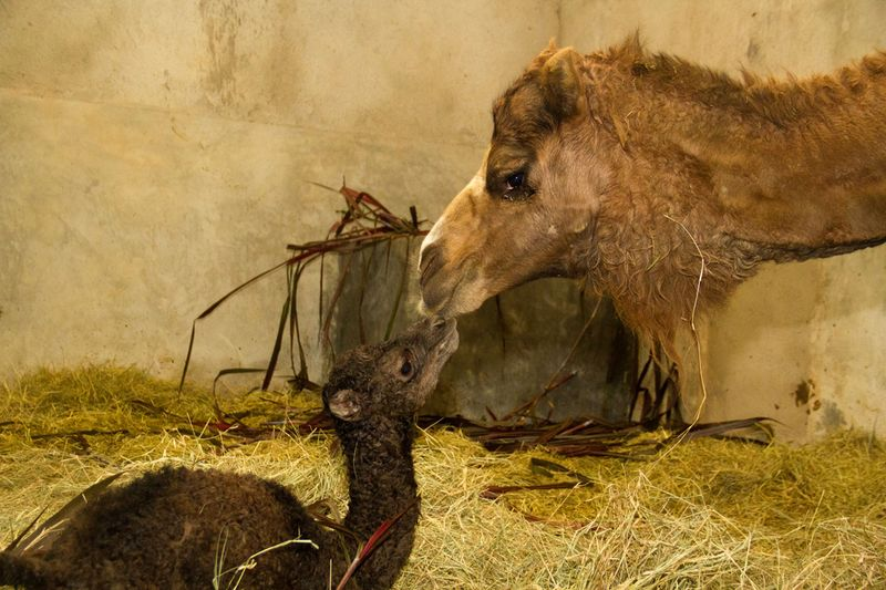 20120718_095441_Dromedario_Foto_Carlos_Nader_Zoo_SP