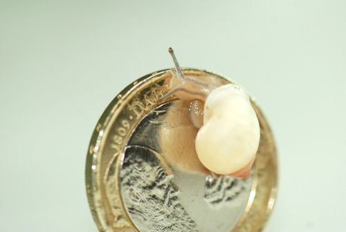 Adult-Partula-hebe-bella-snail_©ZSL-London-Zoo