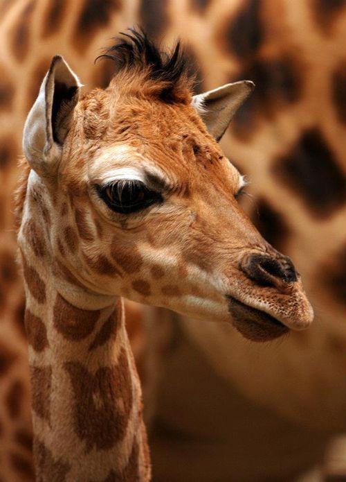 Liberec Giraffe Rothschild 2