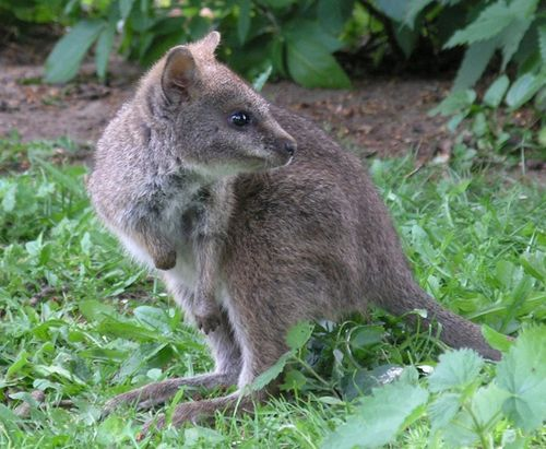 Parma-Wallaby-joey-recently-out-of-pouch