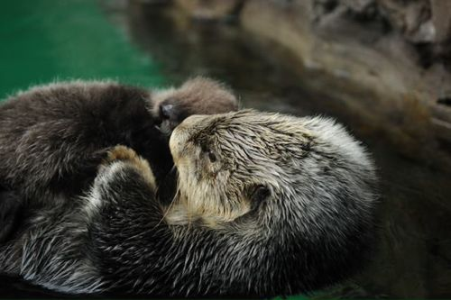 Seattle Sea Otter Pup3