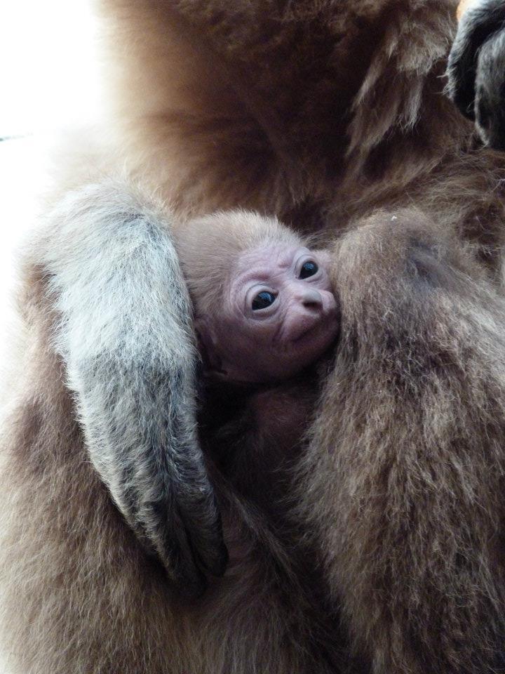 Lar Gibbon Paradise Wildlife Park3