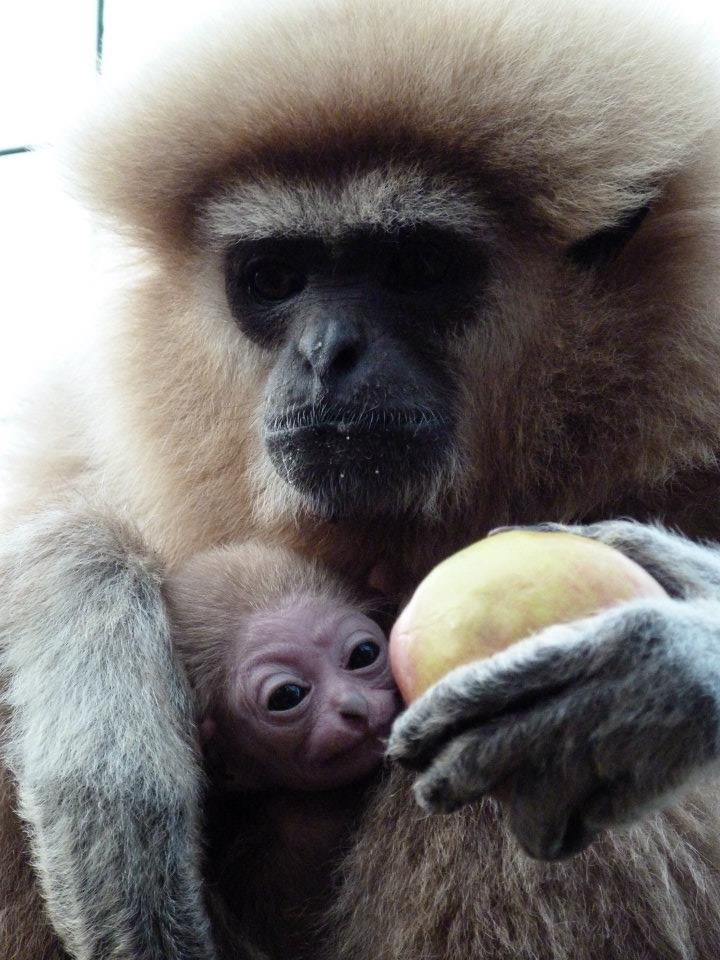 Lar Gibbon Paradise Wildlife Park6
