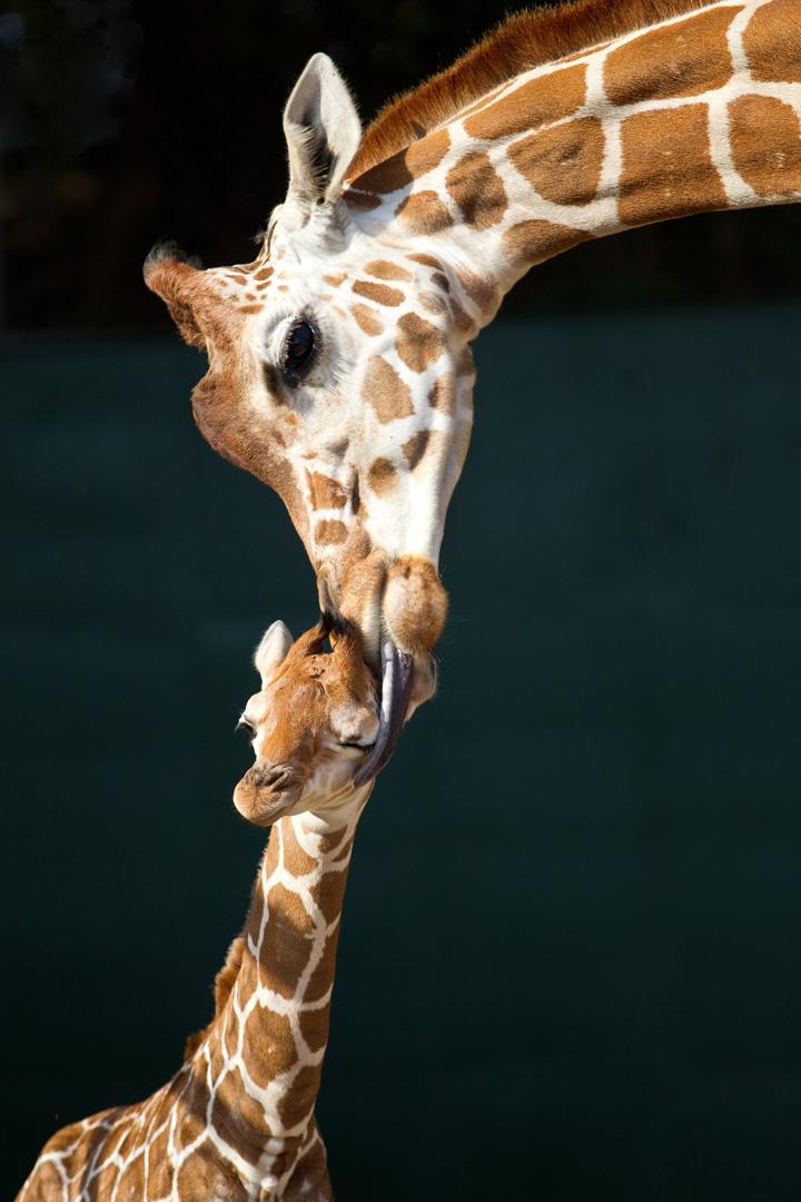 BG-Baby-Giraffe-1