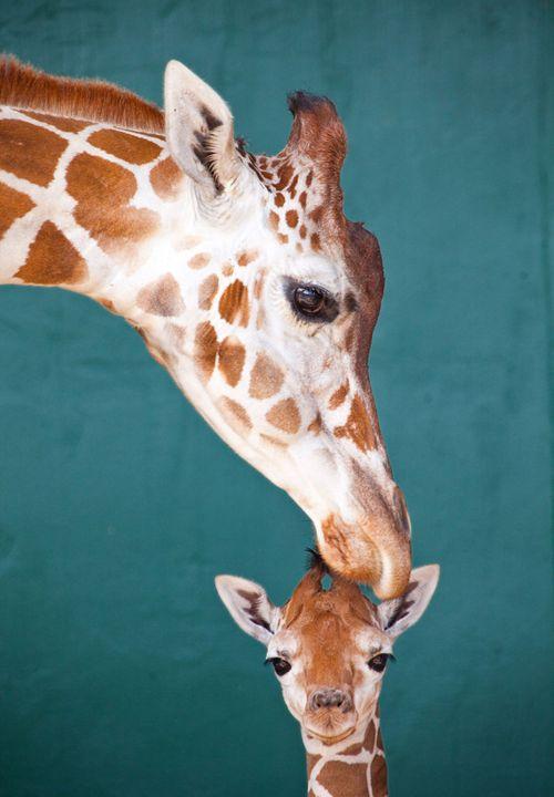 BG-Baby-Giraffe-2