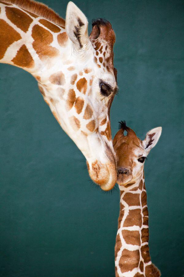 The Giraffe Baby Boom Continues Zooborns