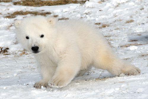 Toronto's Polar Bear Cub Debuts at 3.5 Months! - ZooBorns