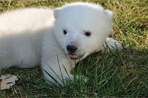 Toronto-Zoo-Polar-Bear-Cub-2