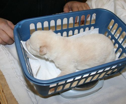 The puppies are weighed every day.  Each has doubled its weight in its first week of life