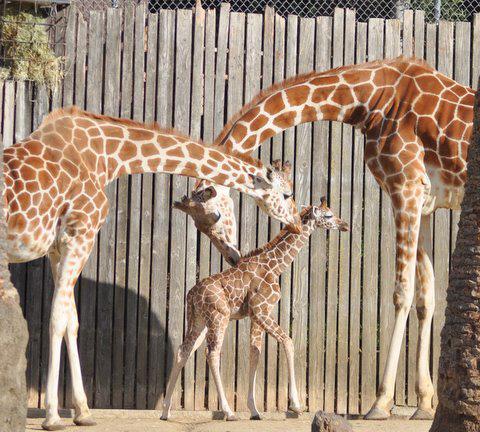 Baby_giraffe_3_web