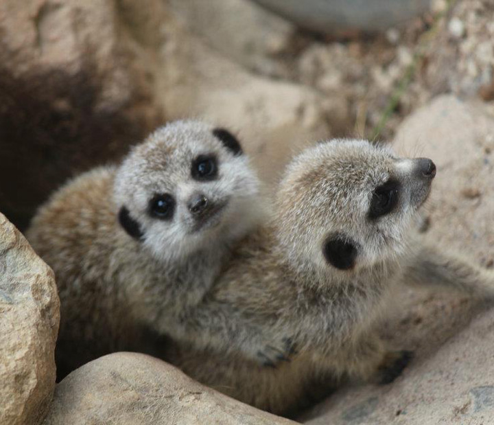Wellington-Zoo-Meerkat-Pups3