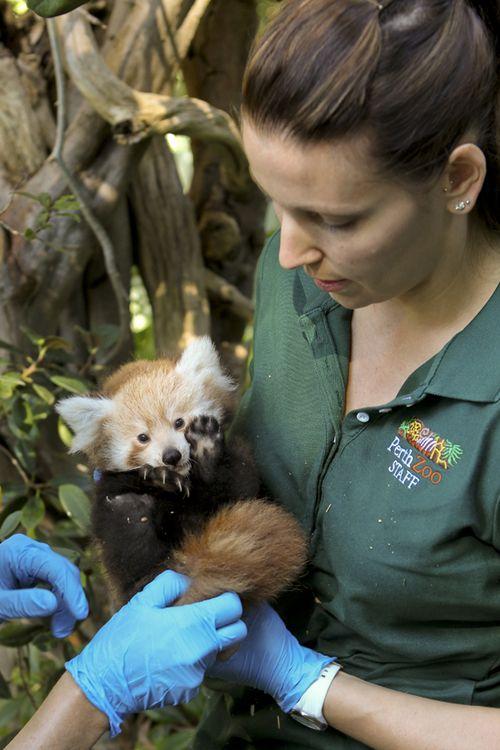 Red-panda00