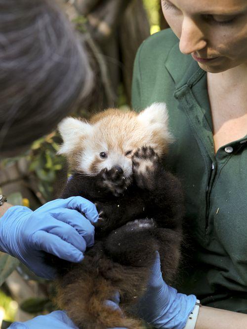 Red-panda01