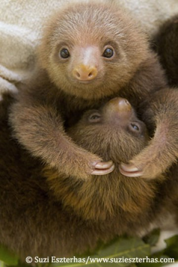 Healing Pajama Party For Twin Baby Sloths Zooborns