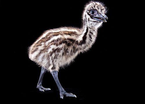 Emu-glamour1