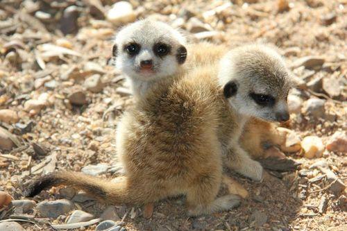 Meerkats_Taronga_7