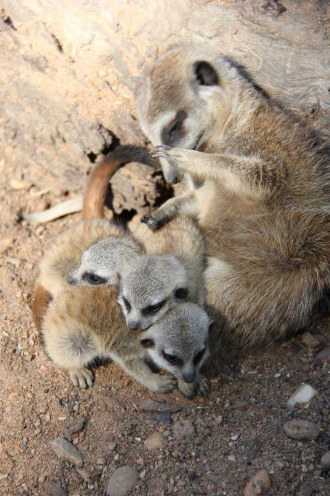 Meerkats_Taronga_10