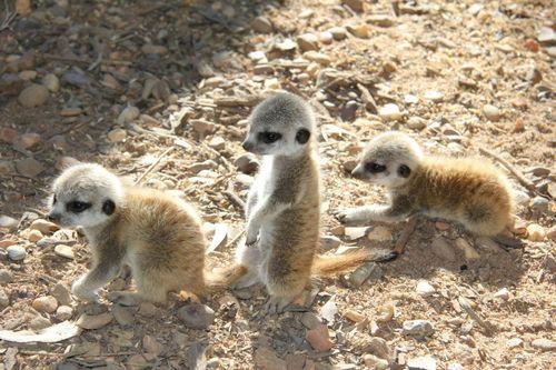 Meerkats_Taronga_6