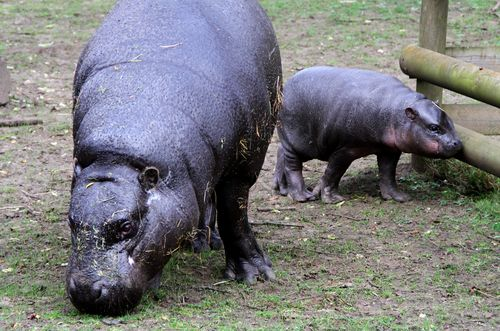 a Baby Pygmy Hippo Named Eve